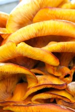 The well-developed gills of the Jack O'Lantern Mushroom