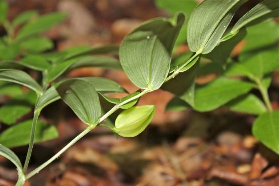 Seed capsule forming in early June