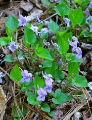 Long-spurred violet