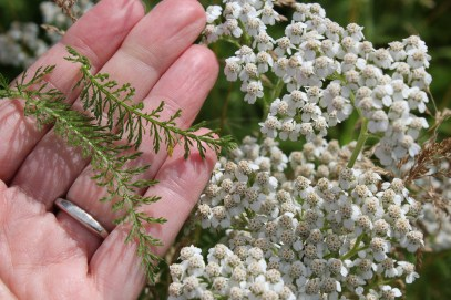 Leaves and flowers of yarrow
