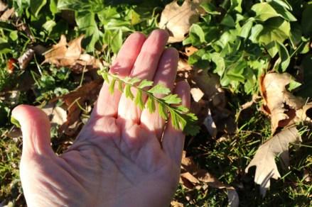 Fern-shaped stem leaves of Golden Ragwort