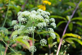 Cowbane can have very large umbels