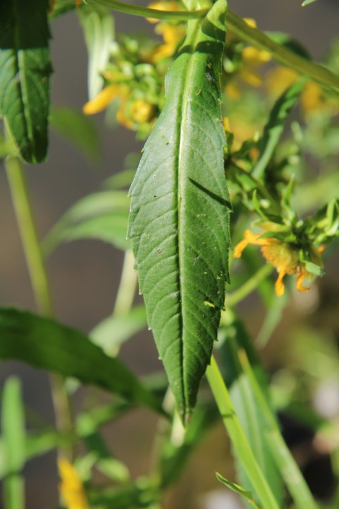 Bur Marigold leaf: lanceolate and toothed, hairless