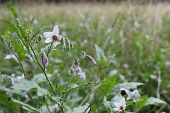 Horse Nettle flowers resemble the flowers of tomatoes and eggplant