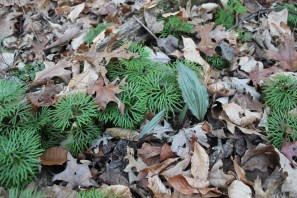 Groundcedar with putty root orchid leaves in winter