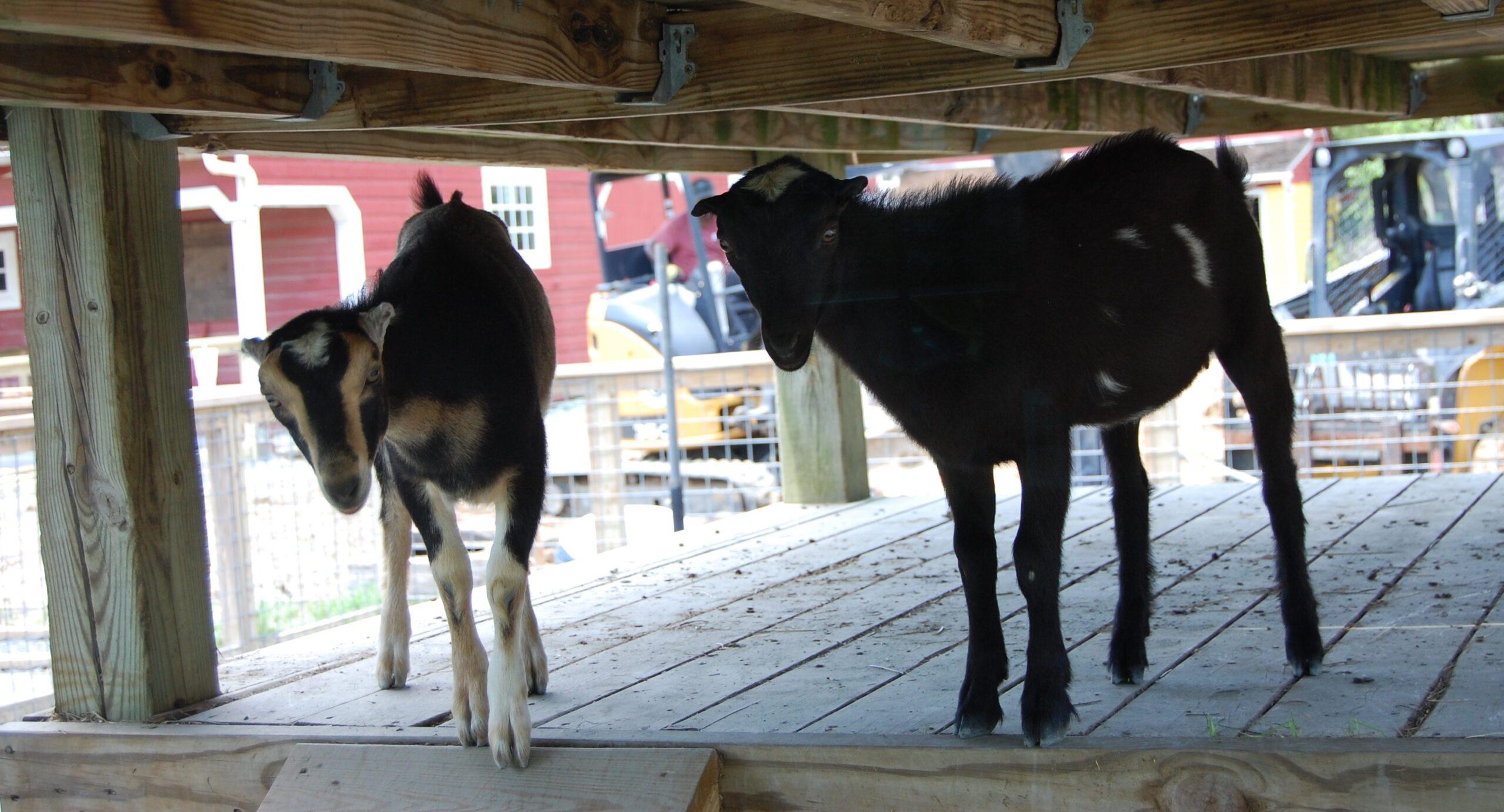Lilly (L) and Sunny (R), the mini LaMancha goats.