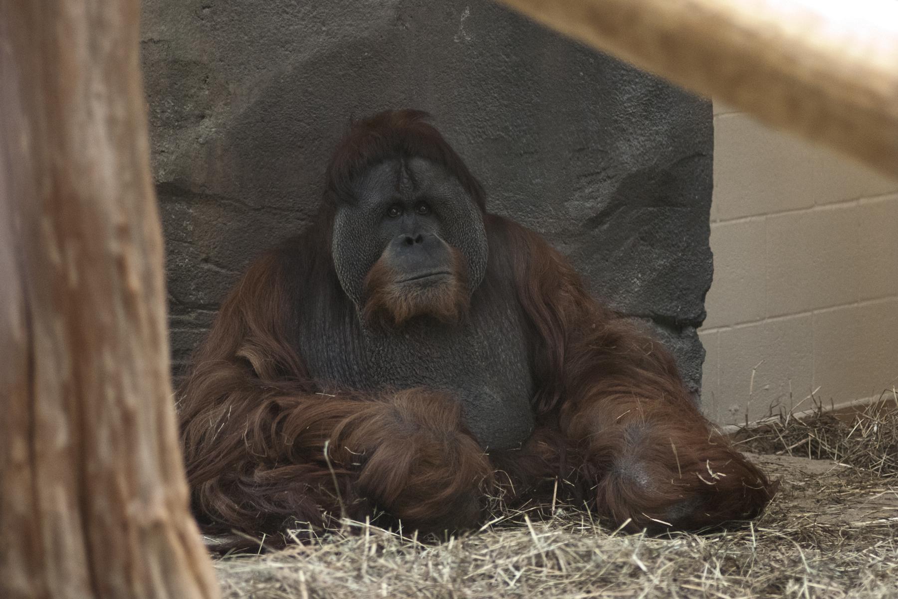 orangutan photo at the virginia zoo