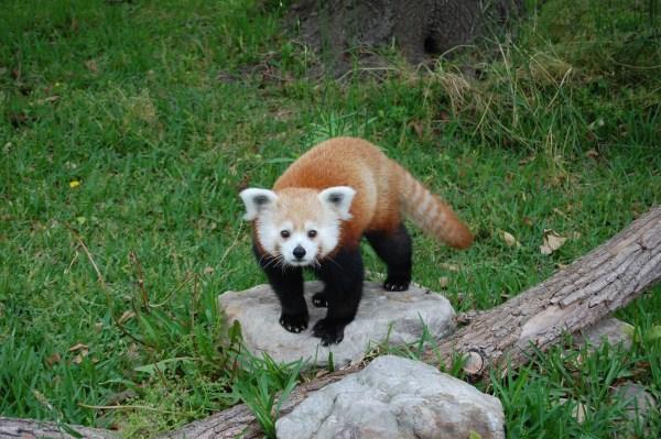 Photo 1 Red Panda Timmy