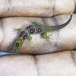 P1000955 Union Island Gecko (Gonatodes daudini) (Jenny Daltry FFI)