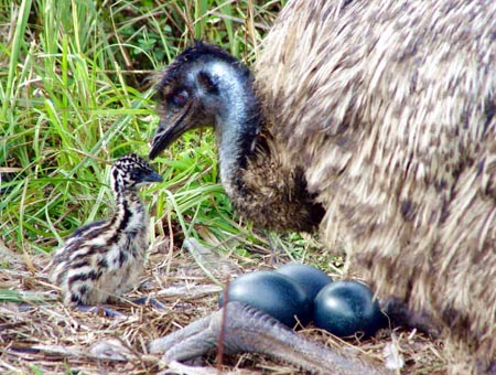 Emu and it's nest