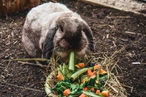 Gray flop ear rabbit with celery hanging from its mouth