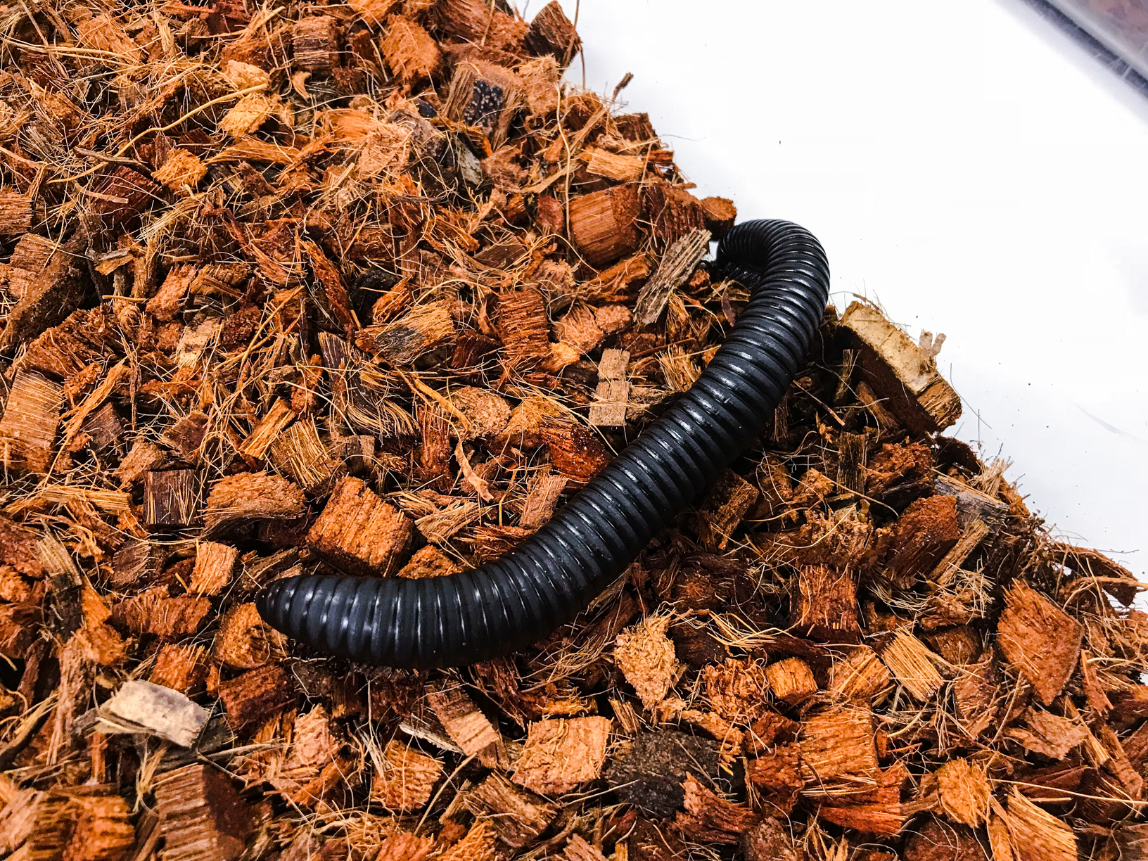 African Giant Millipede at the Virginia Zoo