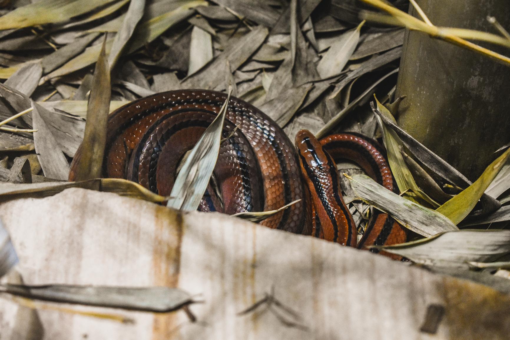 Red bamboo racer snake