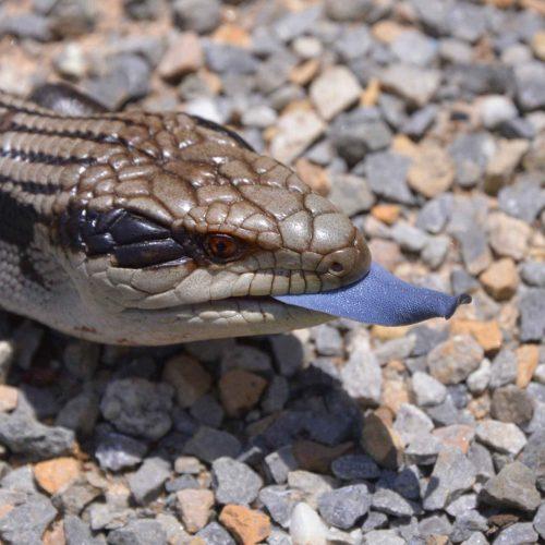 Blue Tongue Skink at the Virginia Zoo