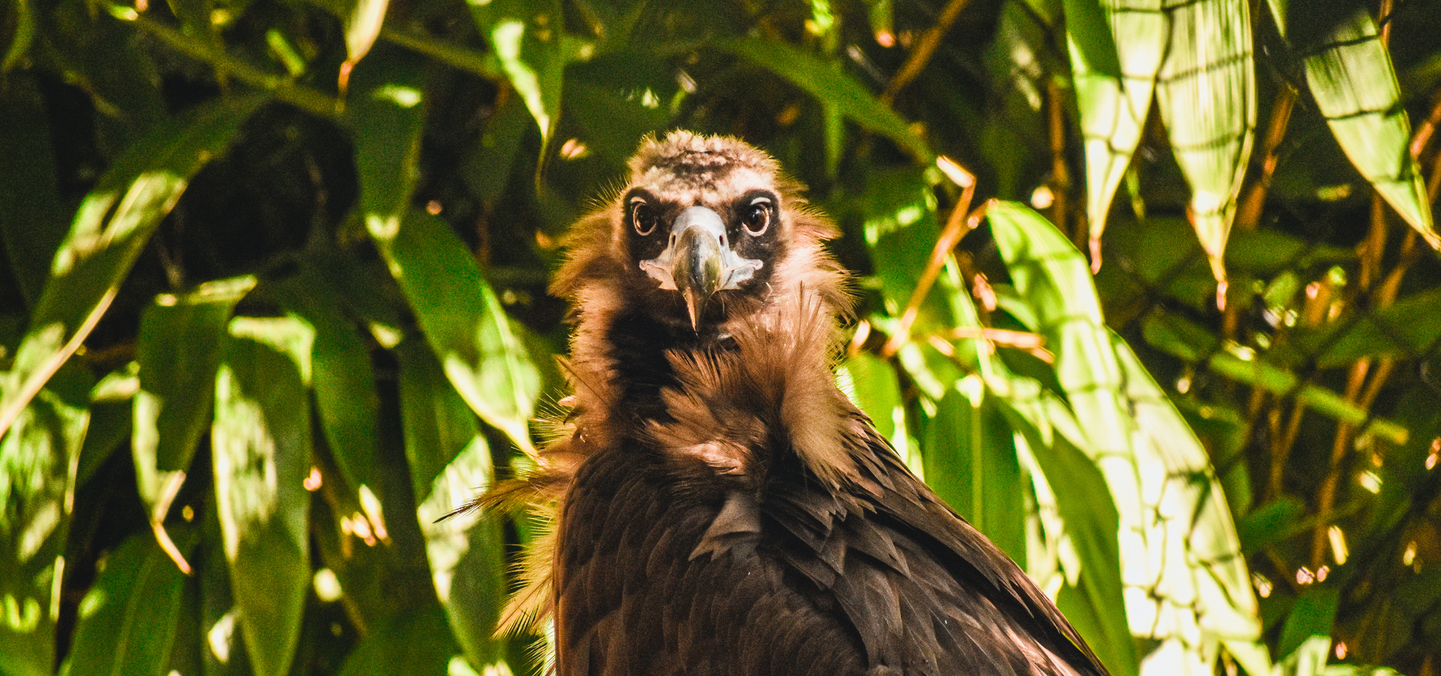 Cinereous Vulture at the Virginia Zoo
