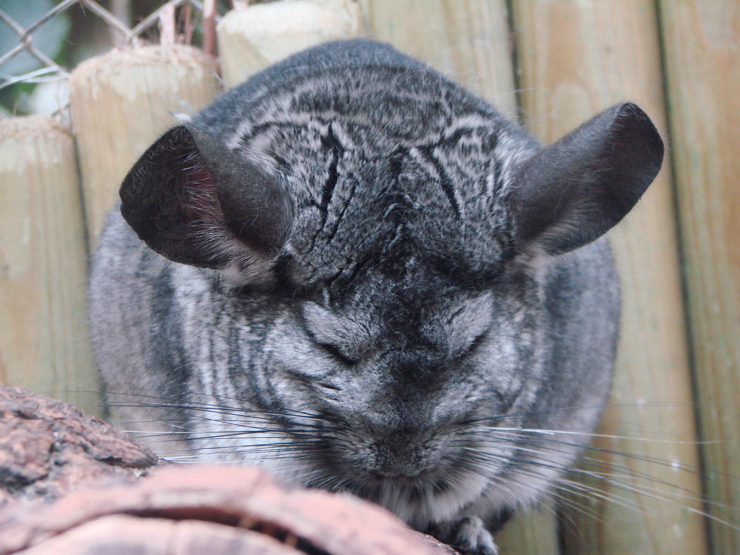 Chinchilla at the Virginia Zoo
