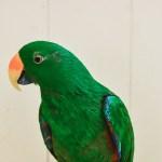 An Eclectus Parrot at the Virginia Zoo