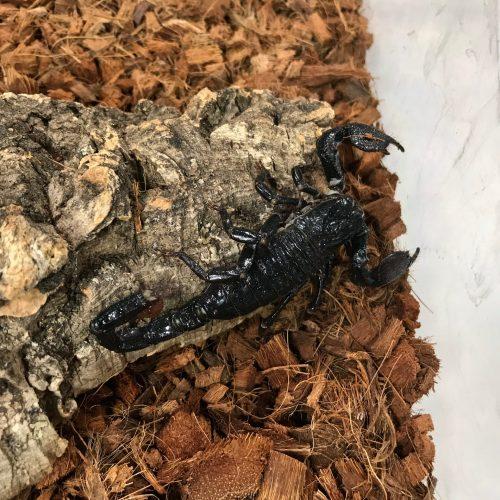 An Emperor Scorpion at the Va Zoo