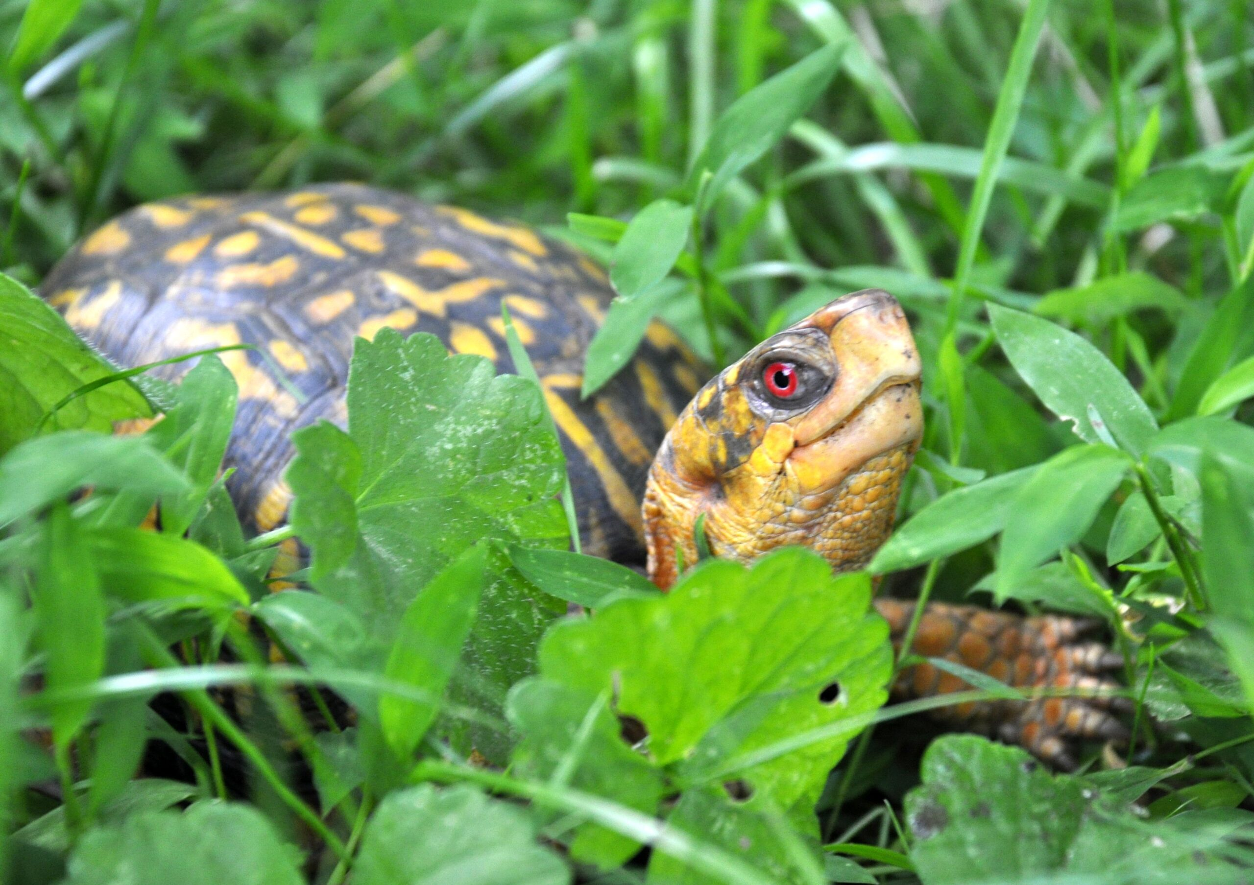 An Eastern Box Turtle at the Virginia Zoo