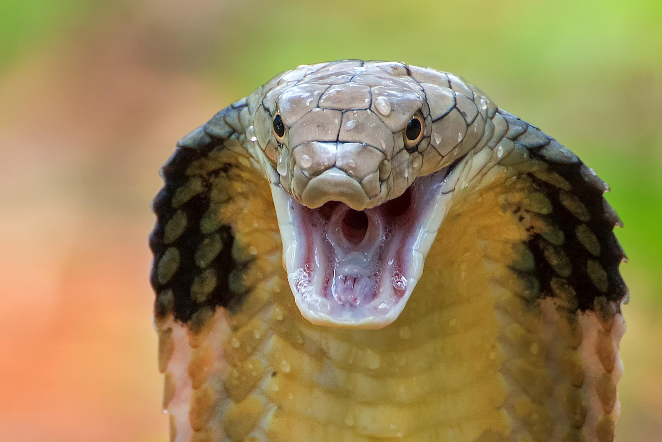 King cobra at the Virginia Zoo