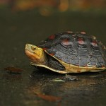 McCord's Box Turtle