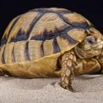 Egyptian Tortoise at the Virginia Zoo