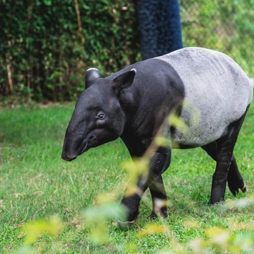 Malayan Tapir at the Virginia Zoo