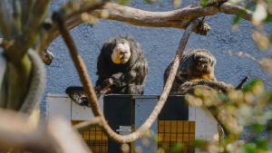 Two saki monkey