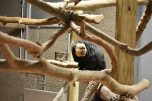 Male saki monkey sitting on branch