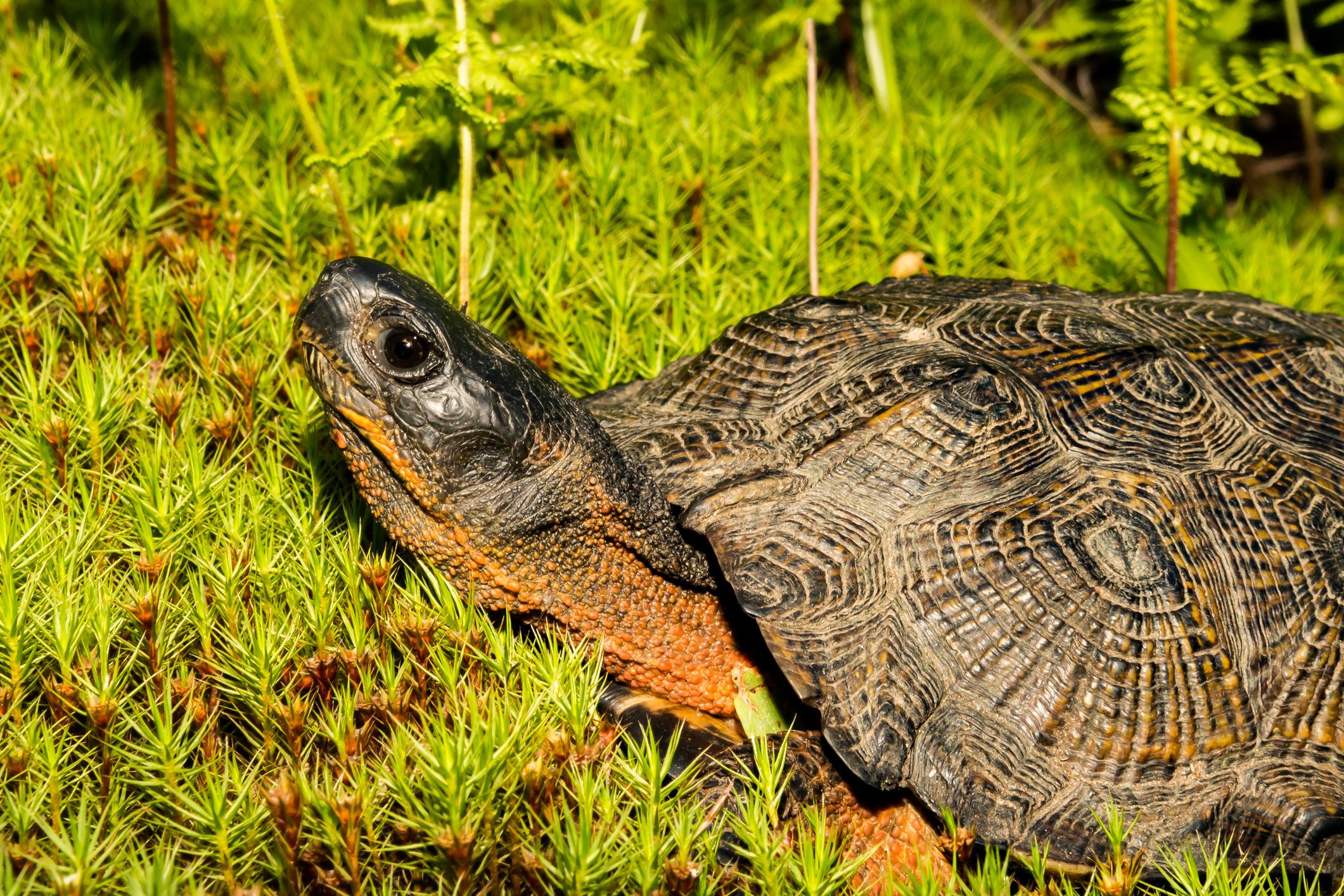 Wood Turtle sunning itself at the Virginia Zoo