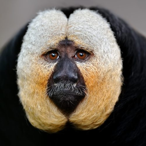White faced saki monkey looking at the Virginia Zoo