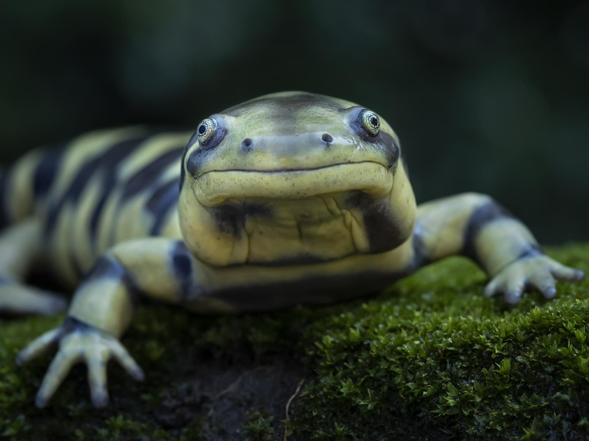 A Tiger salamander looking into a camera
