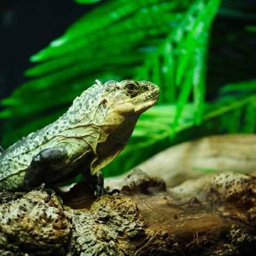 Utila iguana
