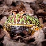Ornate Horned Frog