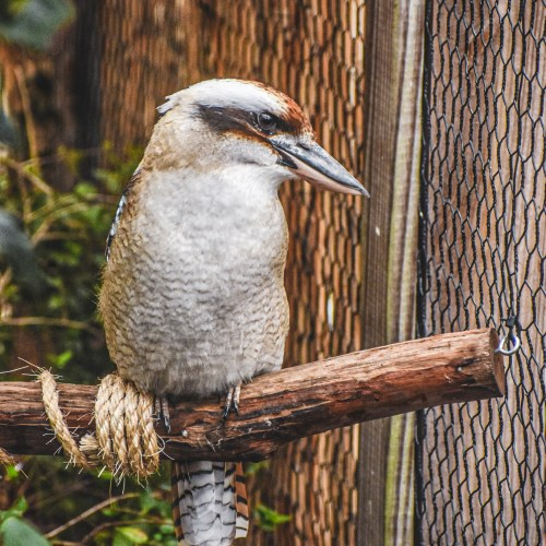 Laughing Kookaburra perched at the Virginia Zoo
