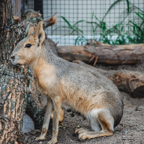 A Patagonian Cavy living at the Virginia Zoo