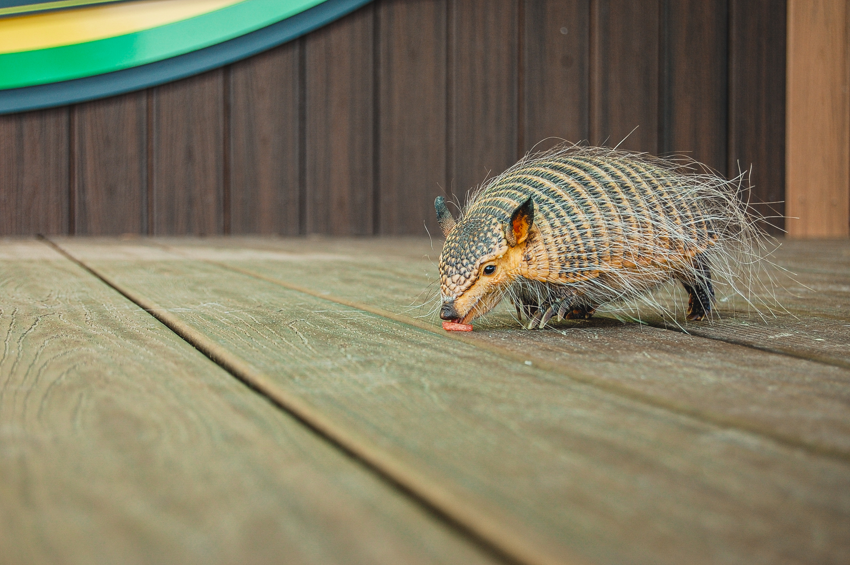 The Hairy Armadillo makes his appearance at the Virginia Zoo