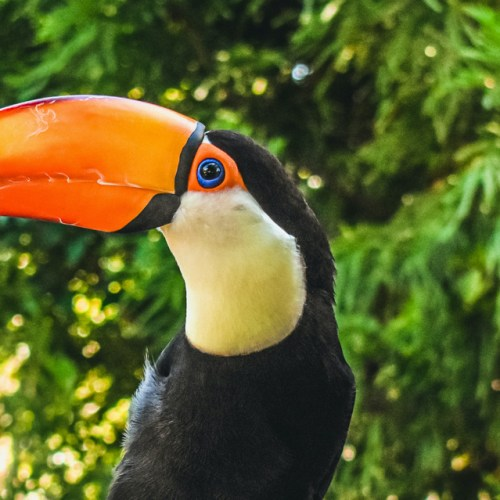 A colorful Toco Toucan at the Virginia Zoo