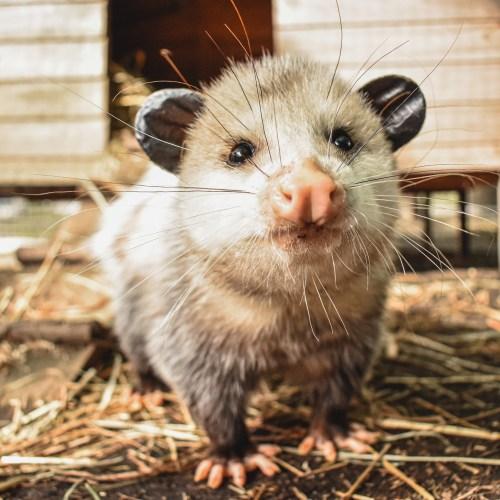 Virginia Opossum happy at the Virginia Zoo