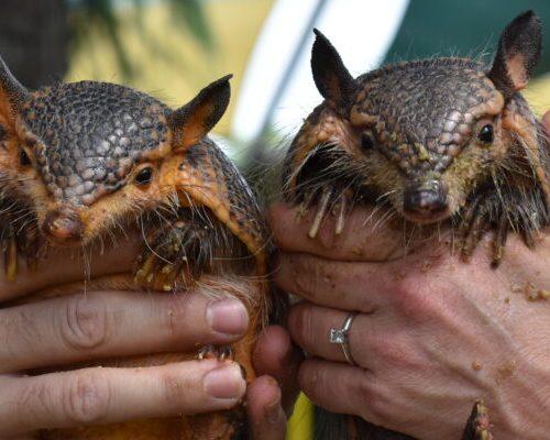 2 baby armadillos