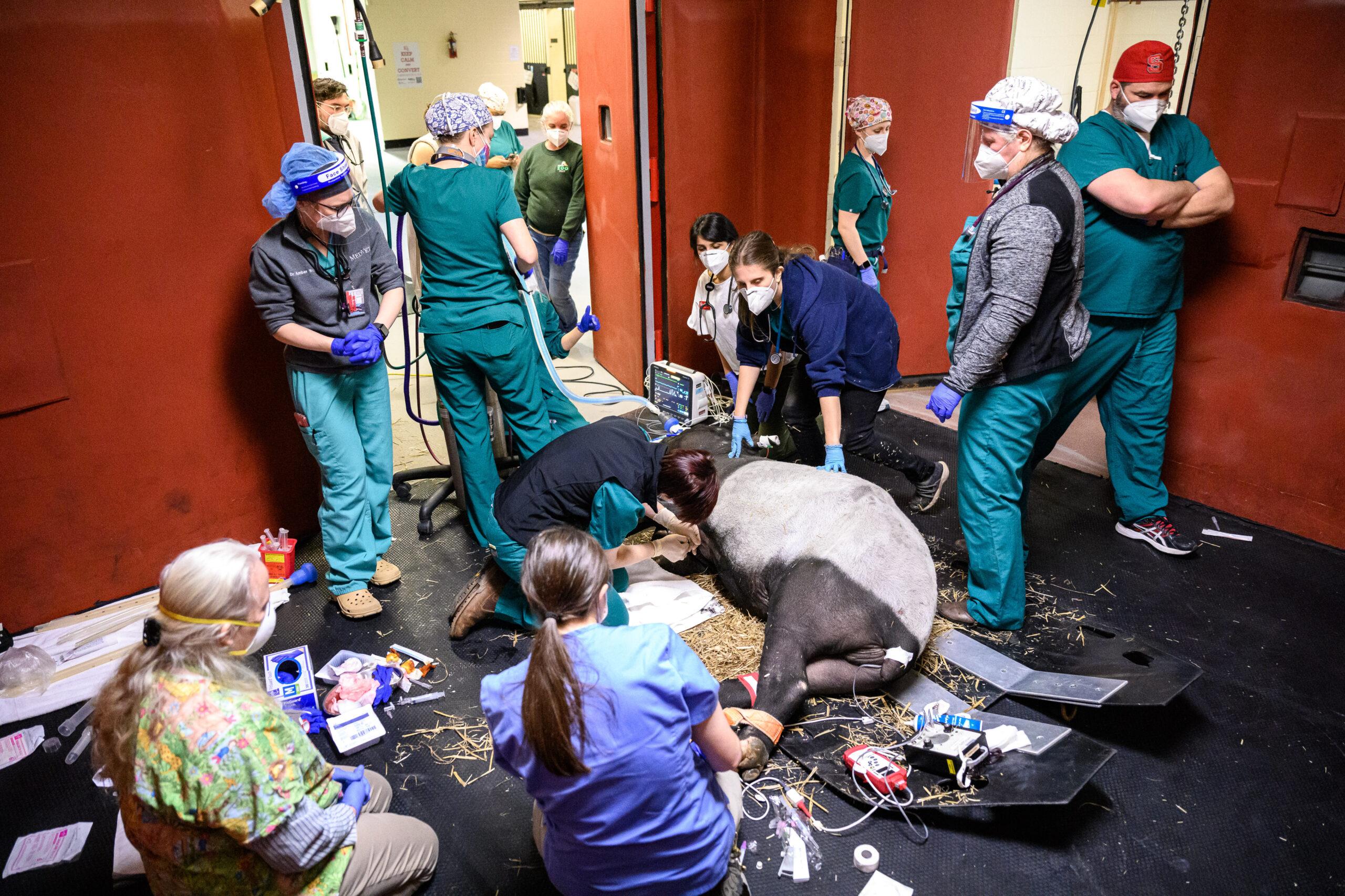 Doctors stand over a Malayan tapir