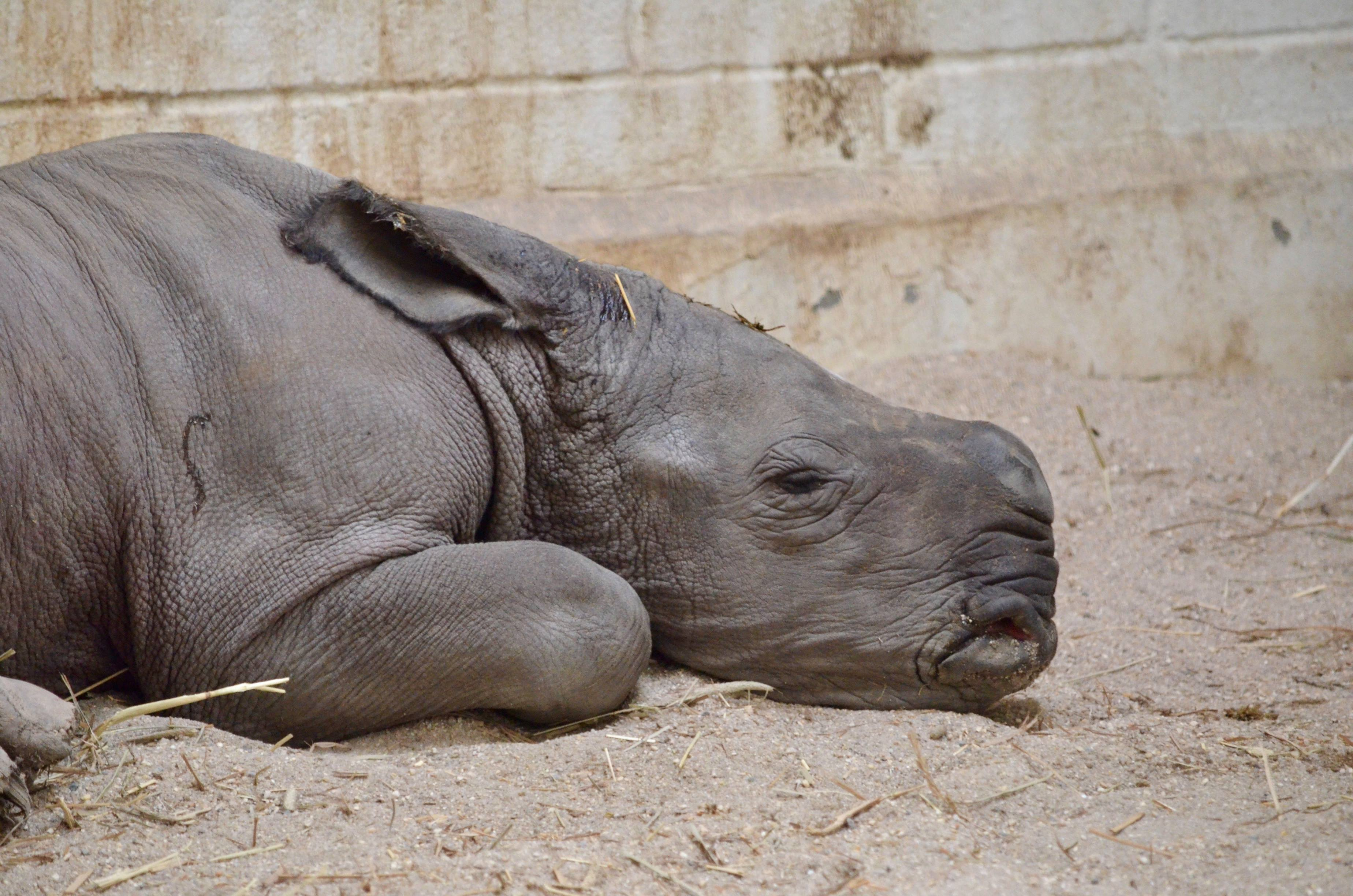 white rhino calf lays in the sand in his stall