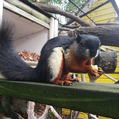 prevost squirrel close up