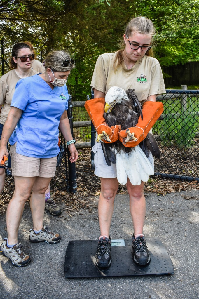 Zoo Keeper holds bald eagle while standing on weight scale