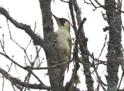 Kuva vuoden 2016 linnusta (c) Olavi Kemppainen