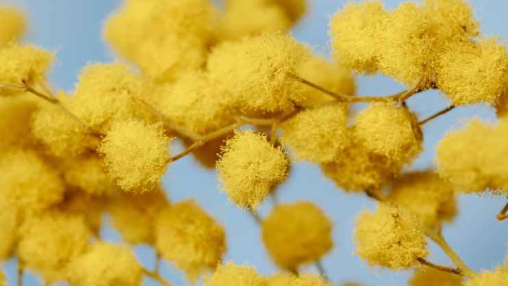yellow cotton ball like flowers