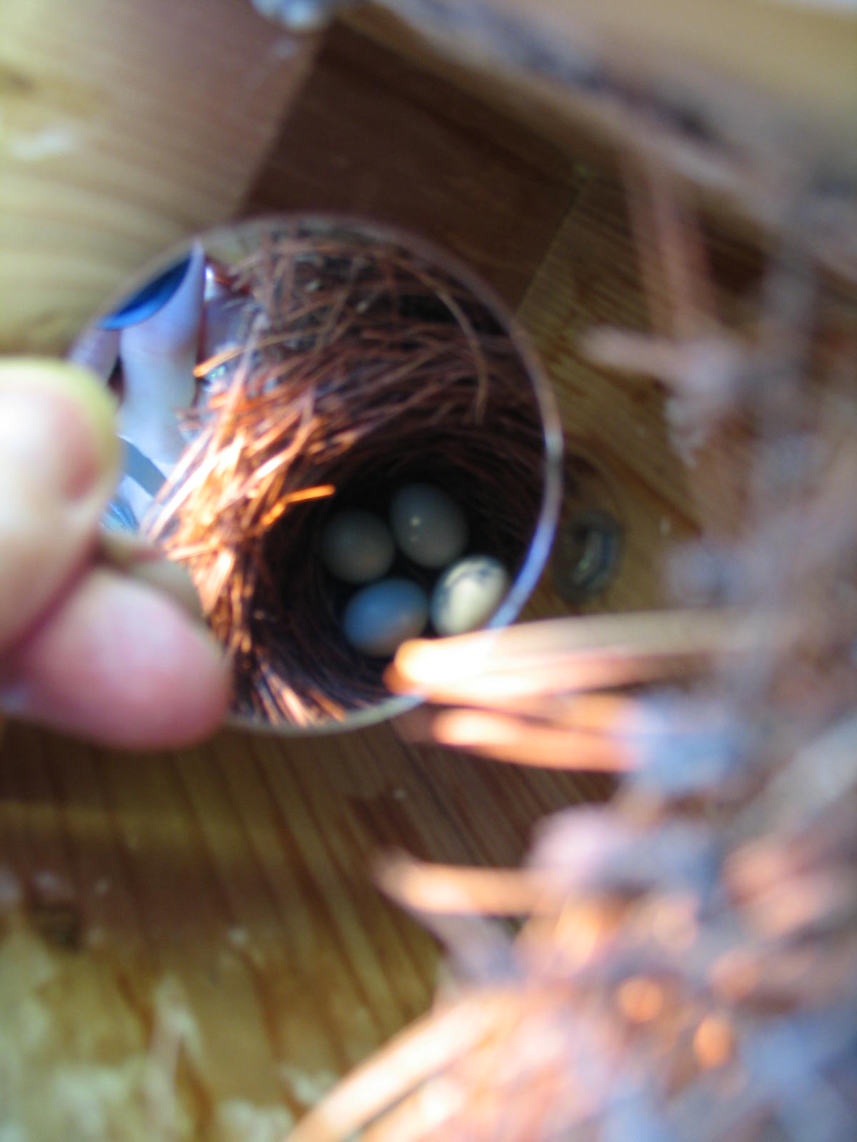 4 Bluebird Eggs at The Mountain Rose Nestbox