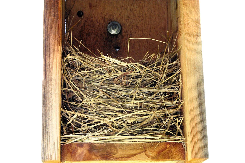 Eastern Bluebird Grass Nest - 5 Eggs - 05-09-09