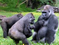 gorilinhas12