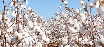 Bénin / Agro-Economie: Les prix des intrants et d'achat de coton graine connus
